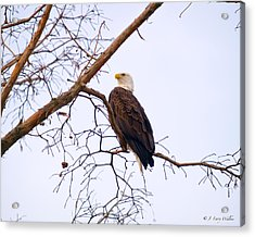 Bald Eagle On Black Bayou Acrylic Print by J Larry Walker