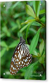 Acrylic Print featuring the photograph  Blue Tiger Butterfly by Eva Kaufman
