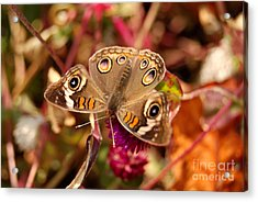 Acrylic Print featuring the photograph  Buckeye Butterfly  by Eva Kaufman