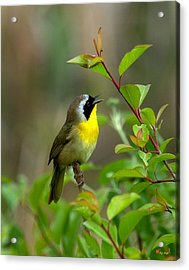 Acrylic Print featuring the photograph  Common Yellowthroat Warbler Warbling Dsb006 by Gerry Gantt