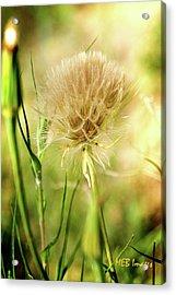 Dandelion Flower Acrylic Print by Margaret Buchanan