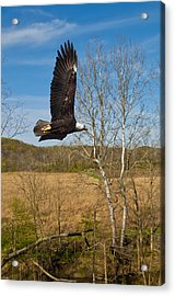 Acrylic Print featuring the photograph  Eagle Circleing Her Nest by Randall Branham