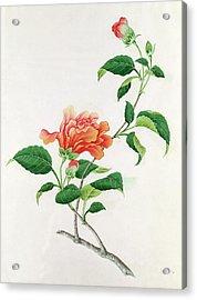 Hibiscus Acrylic Print by Georg Dionysius Ehret