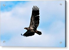 Acrylic Print featuring the photograph  Juvenile Bald Eagle by Peggy Franz