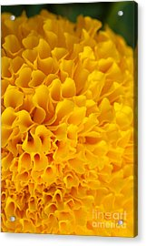 Marigold Macro View Acrylic Print by Atiketta Sangasaeng