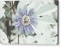 Passion Flower On White Acrylic Print