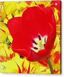 Single Red Tulip Acrylic Print by Jolie Maybaum