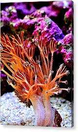 Acrylic Print featuring the photograph  Xenia Elongata by Puzzles Shum