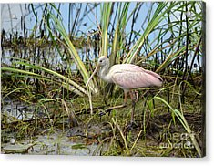 Young Roseate Spoonbill Acrylic Print by Kathy Gibbons