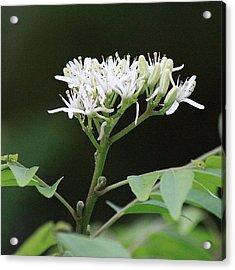 أزهار شجرة الكاري، Acrylic Print