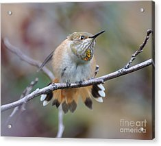 Hummingbird Stretch Four Acrylic Print
