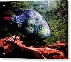 1 Fish Living In Denmark Acrylic Print by Colette V Hera  Guggenheim
