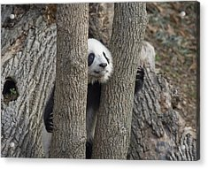 A Baby Panda Plays On A Branch Acrylic Print by Taylor S. Kennedy