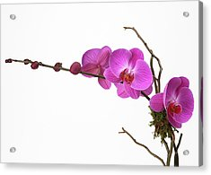 A Close-up Of An Orchid Branch Acrylic Print by Nicholas Eveleigh