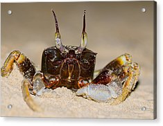 A Crab On The Shore  Acrylic Print by Ulrich Schade