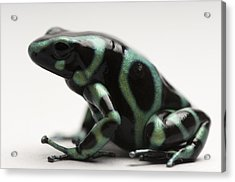 A Green-and-black Poison Dart Frog Acrylic Print by Joel Sartore