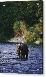 A Kodiak Brown Bear Ursus Middendorfii Acrylic Print by George F. Mobley
