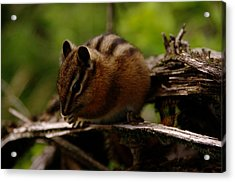 A Little Chipmunk Acrylic Print by Jeff Swan