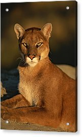 A Portrait Of A Mountain Lion Acrylic Print by Norbert Rosing