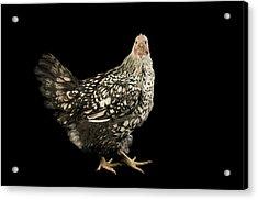 A Silver Laced Wyandotte Chicken Acrylic Print by Joel Sartore