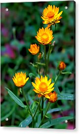 Acrylic Print featuring the photograph A Simple Daisy by Paul Svensen
