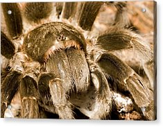 A Tarantula Living In Mangrove Forest Acrylic Print