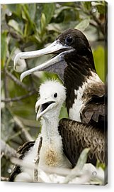 Adult Frigatebird Fregata Species Acrylic Print by Tim Laman