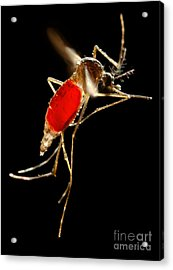 Aedes Aegypti Mosquito Acrylic Print by Science Source