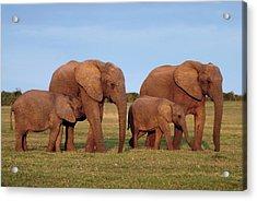 African Elephants Acrylic Print by Peter Chadwick