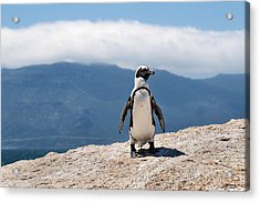 African Penguin Acrylic Print