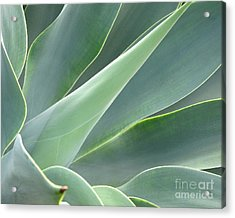 Acrylic Print featuring the photograph Agave by Ranjini Kandasamy