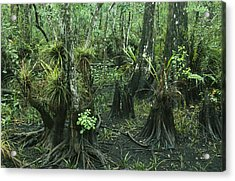 Air Plants Adorn The Trees In South Acrylic Print by Klaus Nigge