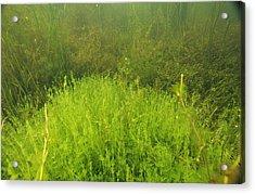 Algae Acrylic Print by Alexis Rosenfeld
