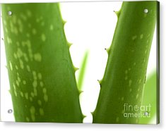 Aloe Vera Acrylic Print by Blink Images