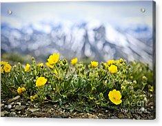 Alpine Meadow In Jasper National Park Acrylic Print by Elena Elisseeva
