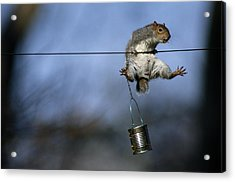 An Eastern Gray Squirrel Sciurus Acrylic Print by Chris Johns