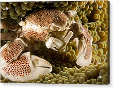 Anemone Or Porcelain Crab In Its Host Acrylic Print by Tim Laman
