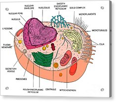Animal Cell Diagram Acrylic Print by Science Source