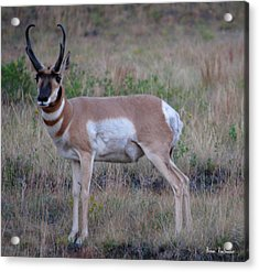 Antelope Acrylic Print by Bonae VonHeeder