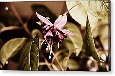 Antiqued Fuchsia Acrylic Print by Jeanette C Landstrom