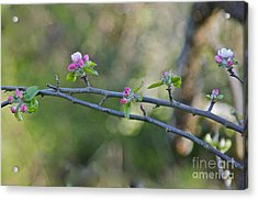 Apple Blossoms Acrylic Print by Sean Griffin
