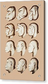Artwork Of Twelve Catarrhines, 1870 Acrylic Print by Mehau Kulyk