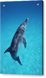 Atlantic Spotted Dolphin Portrait Acrylic Print by Flip Nicklin