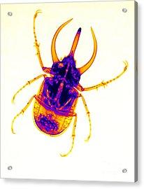 Atlas Beetle X-ray Acrylic Print by Ted Kinsman