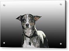 Australian Cattle Dog Sheltie Mix Acrylic Print by One Rude Dawg Orcutt