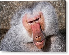 Baboon Acrylic Print by Andrew  Michael