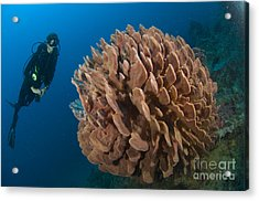 Barrel Sponge And Diver, Papua New Acrylic Print by Steve Jones
