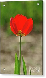 Acrylic Print featuring the photograph Beauty In Red by Dariusz Gudowicz