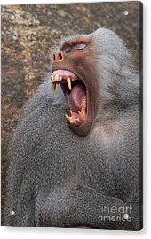 Big Teeth Acrylic Print by Andrew  Michael