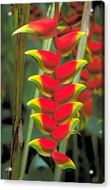 Bird Of Paradise Acrylic Print by Carl Purcell